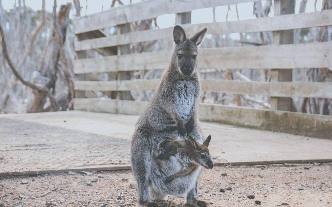 Mikor születik a kenguru?