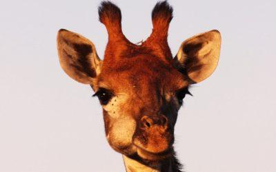 Miért megy valaki zsiráfnak?