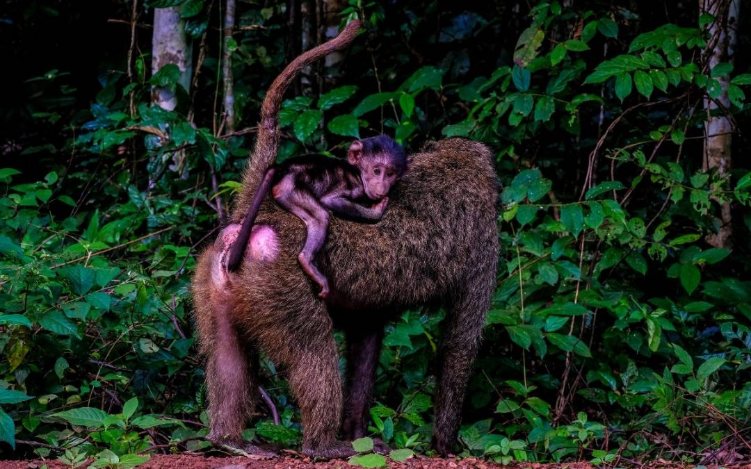 Zolika és a piros majom